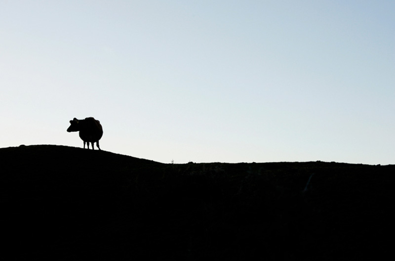 cow-shadow-silhouettte-james-watkins