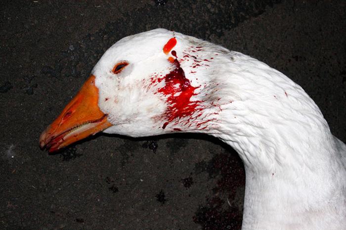 dead-goose