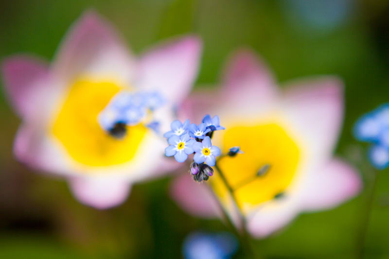 forget-me-not-macro