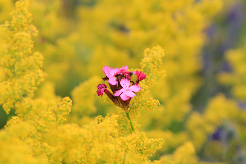 pink-and-yellow-flowers