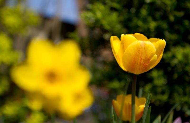 yellow-tulip-macro
