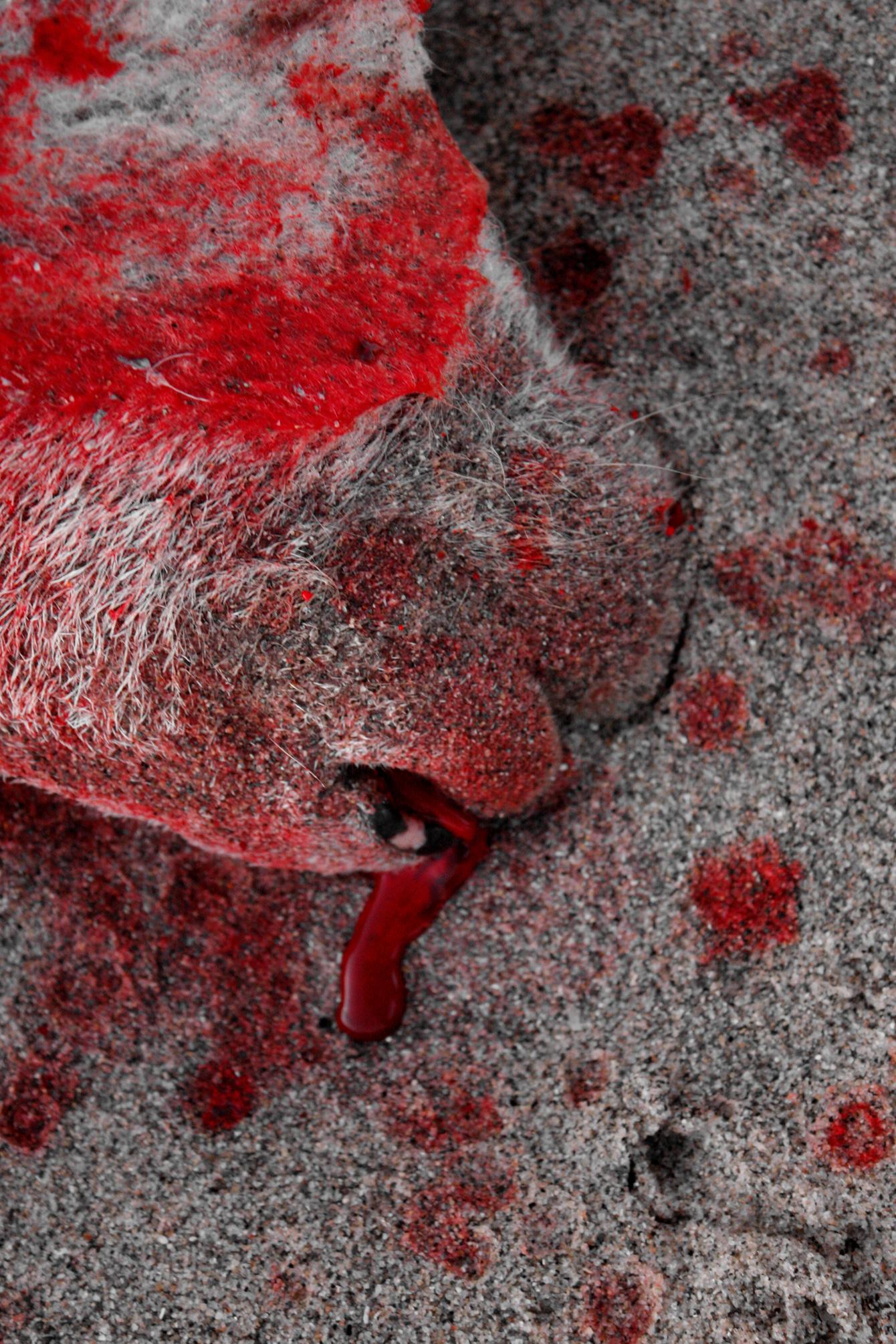 dead-sheep-blood-new-zealand