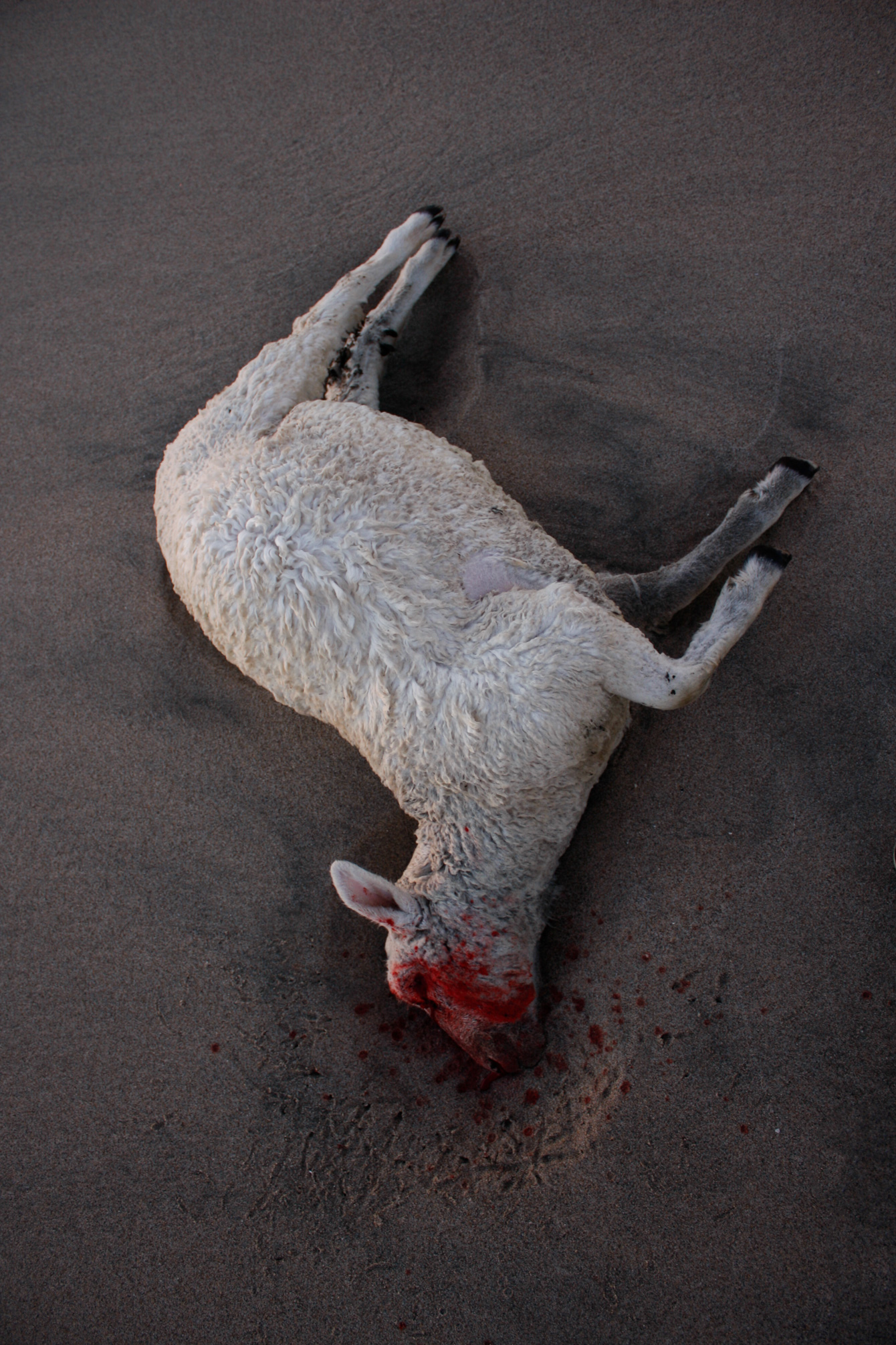 dead-sheep-wharariki-beach-new-zealand